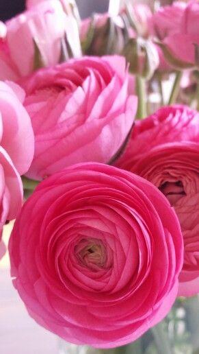 Fuscia Ranunculus.jpg