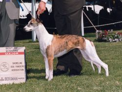 Dual Ch. Bohem Romanesque  (Tootsie), born 1998  Finished her conformation title with specialty weekend majors, dam of champions.  Owner Kim Otero (Wheatland)