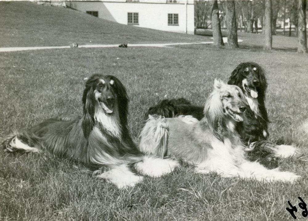 The first champion, Afghan Hound  Ch. Ariadne el Khandahar , b. 1959, flanked by her sons  Ch. Bohem Waalph  (left) and  Int. Ch. Bohem Python , both b. 1965 in Sweden.