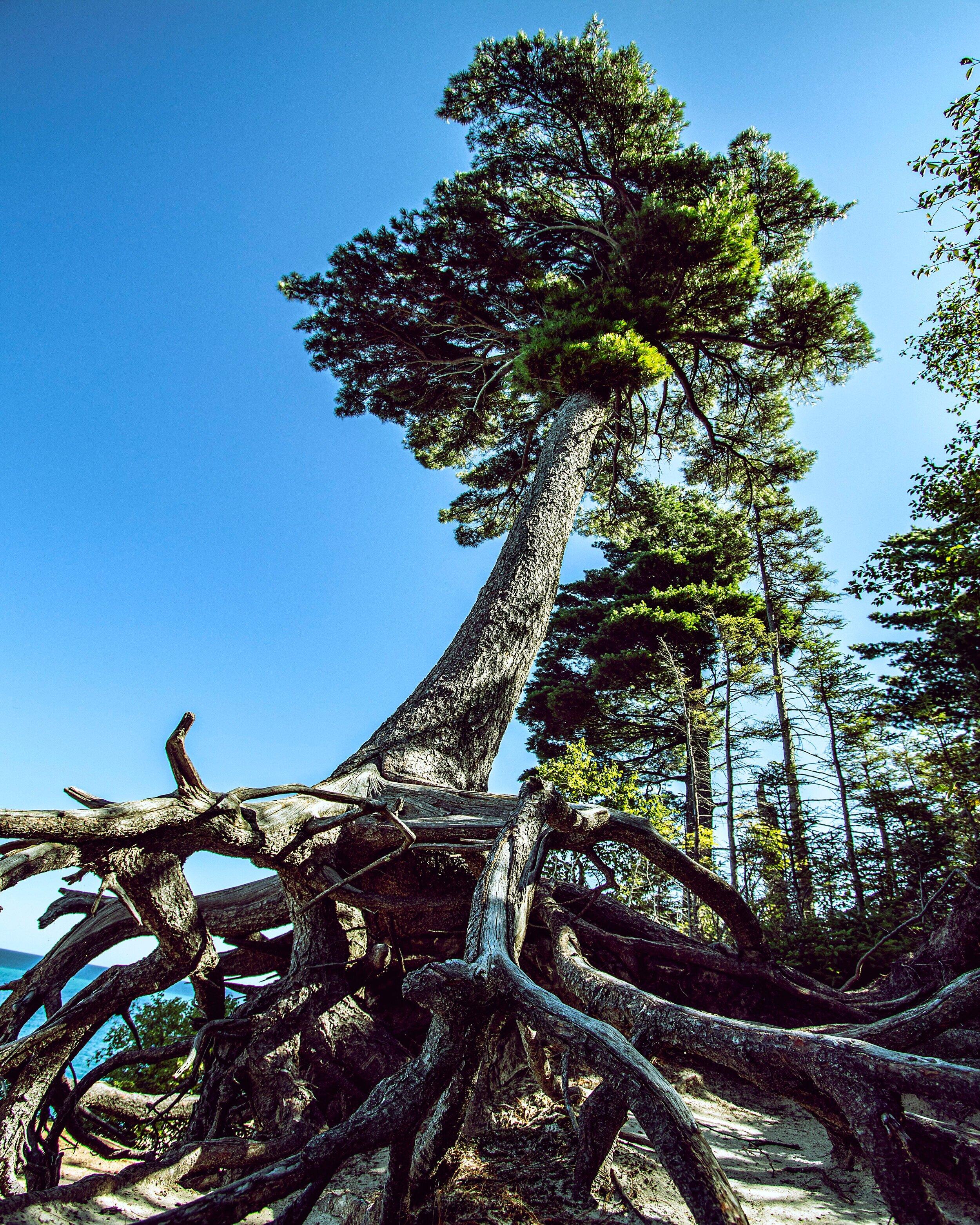 Spider Roots Tree, Michigan, 08.19.2019