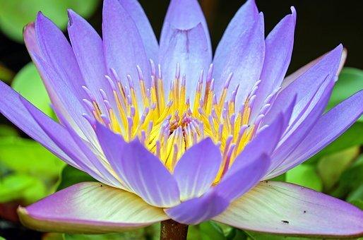 water-lily-1535906__340.jpg