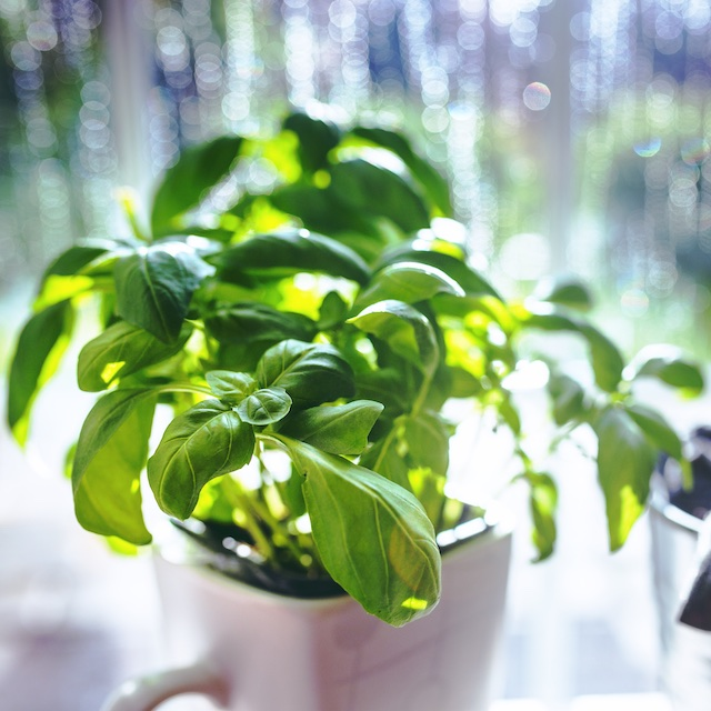 basil_plant.jpg
