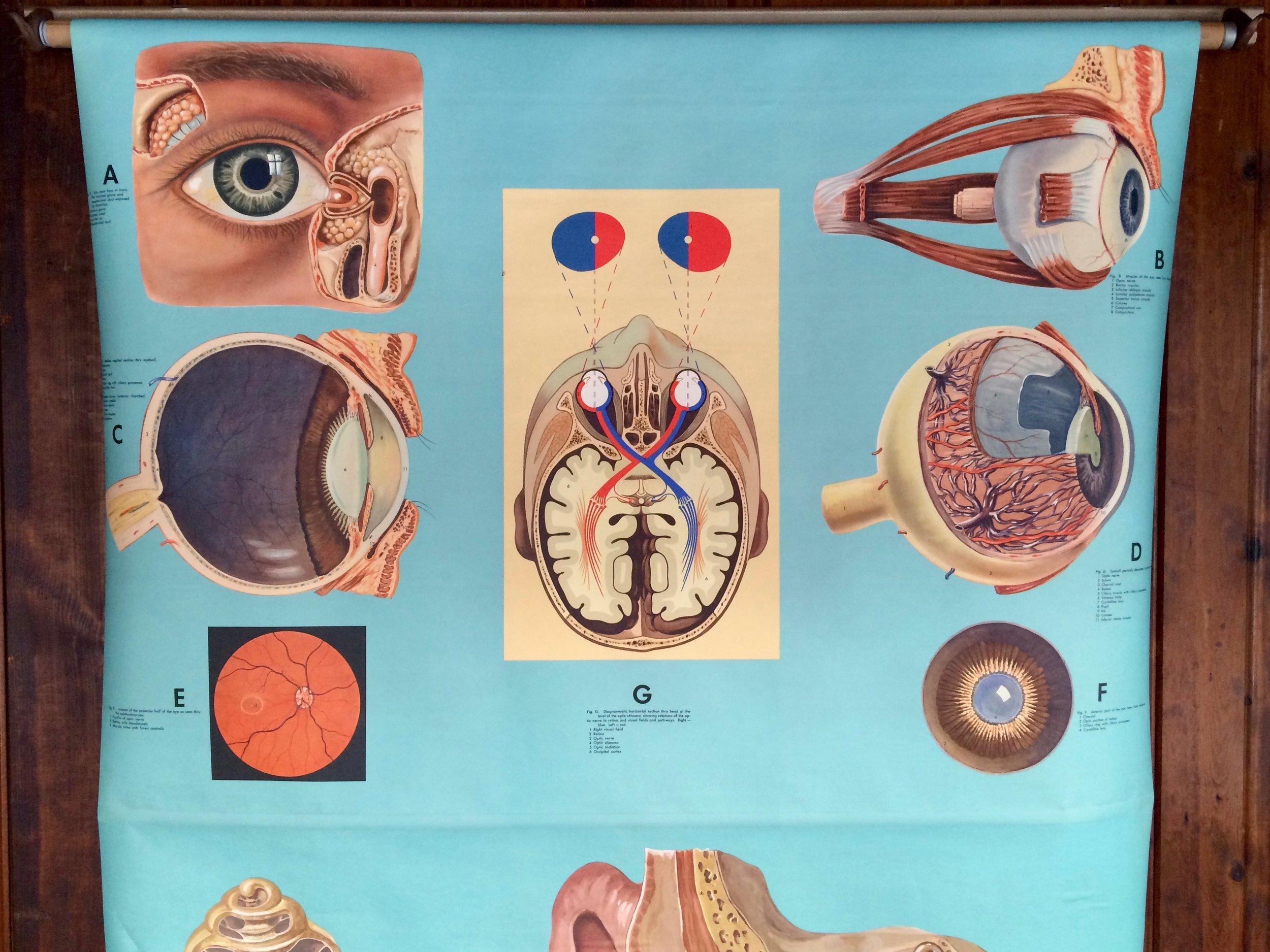 Eye & Ear Anatomy Poster