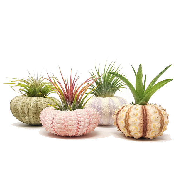 home decor sea urchin air plant pot
