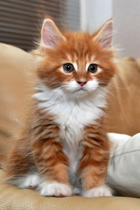 Adorable-cute-white-and-orange-kitty....jpg