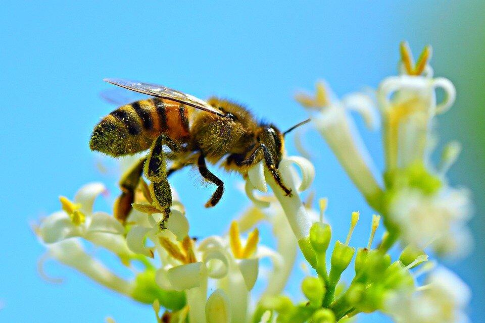 honey-bee-4314838_960_720.jpg