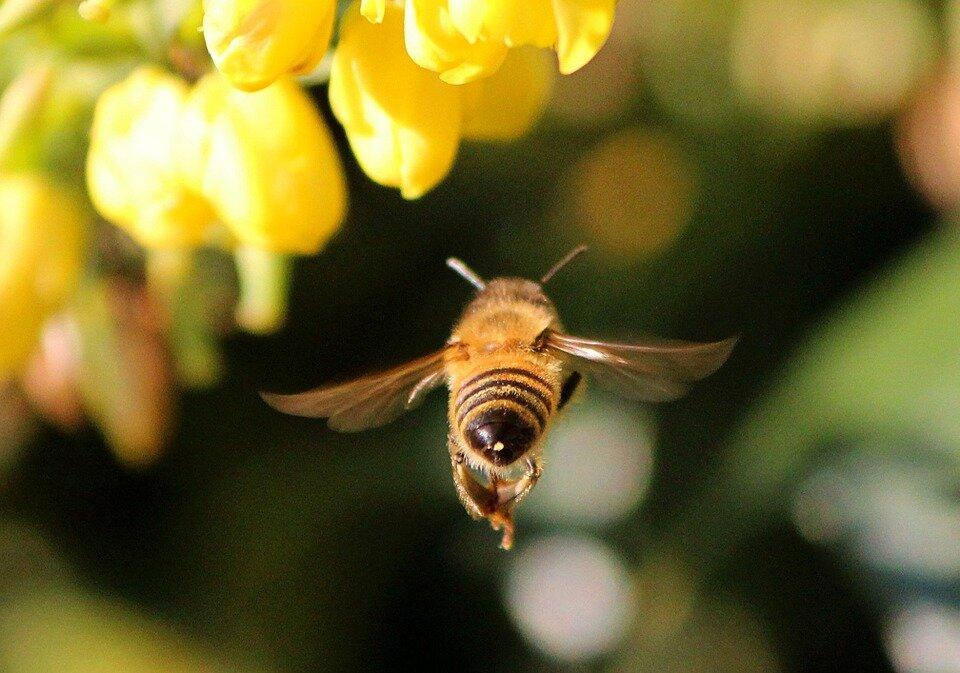 honey-bee-68166_960_720.jpg