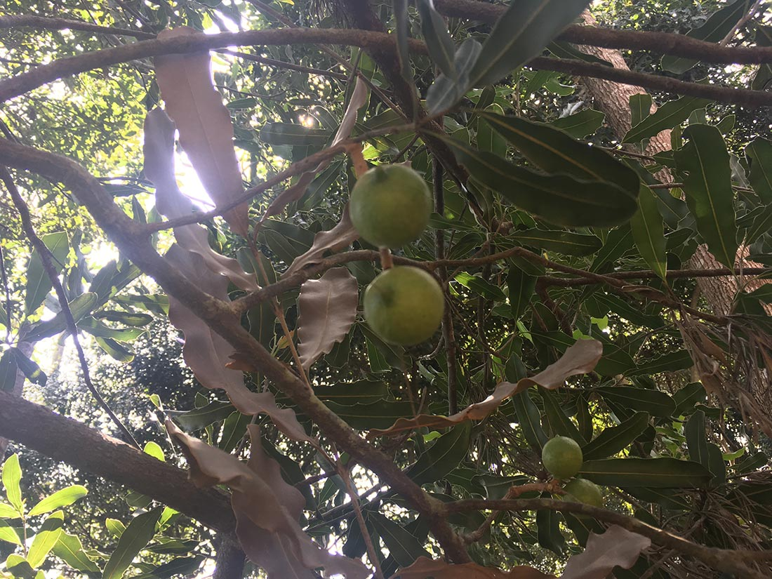Macadamia nuts come from trees.