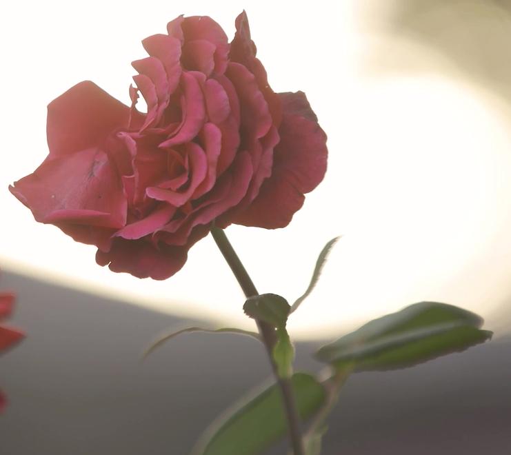Copy of Rosa