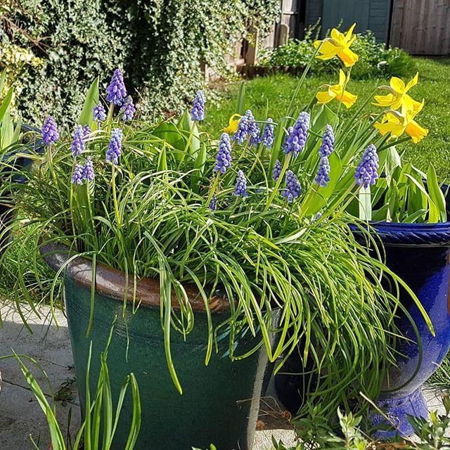 More #spring #flowers. 💕 grape hyacinths.