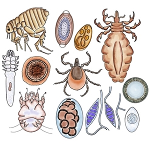 Click Here for more information about Parasites!