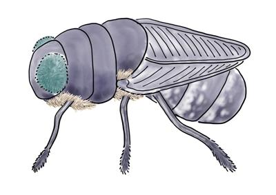 An adult botfly