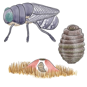 Click Here to learn about Cuterebra; the grossest parasite!