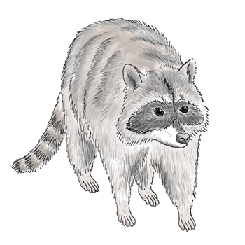 raccoon 350.jpg