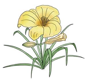 Daylily -  Hemerocallis spp .