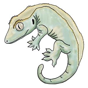 Crested Gecko 300.jpg