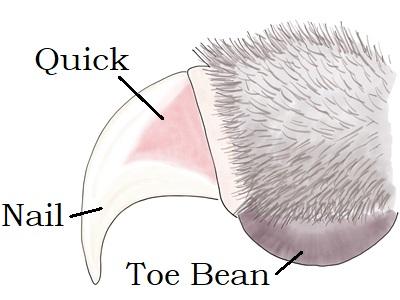 Cat toe anatomy