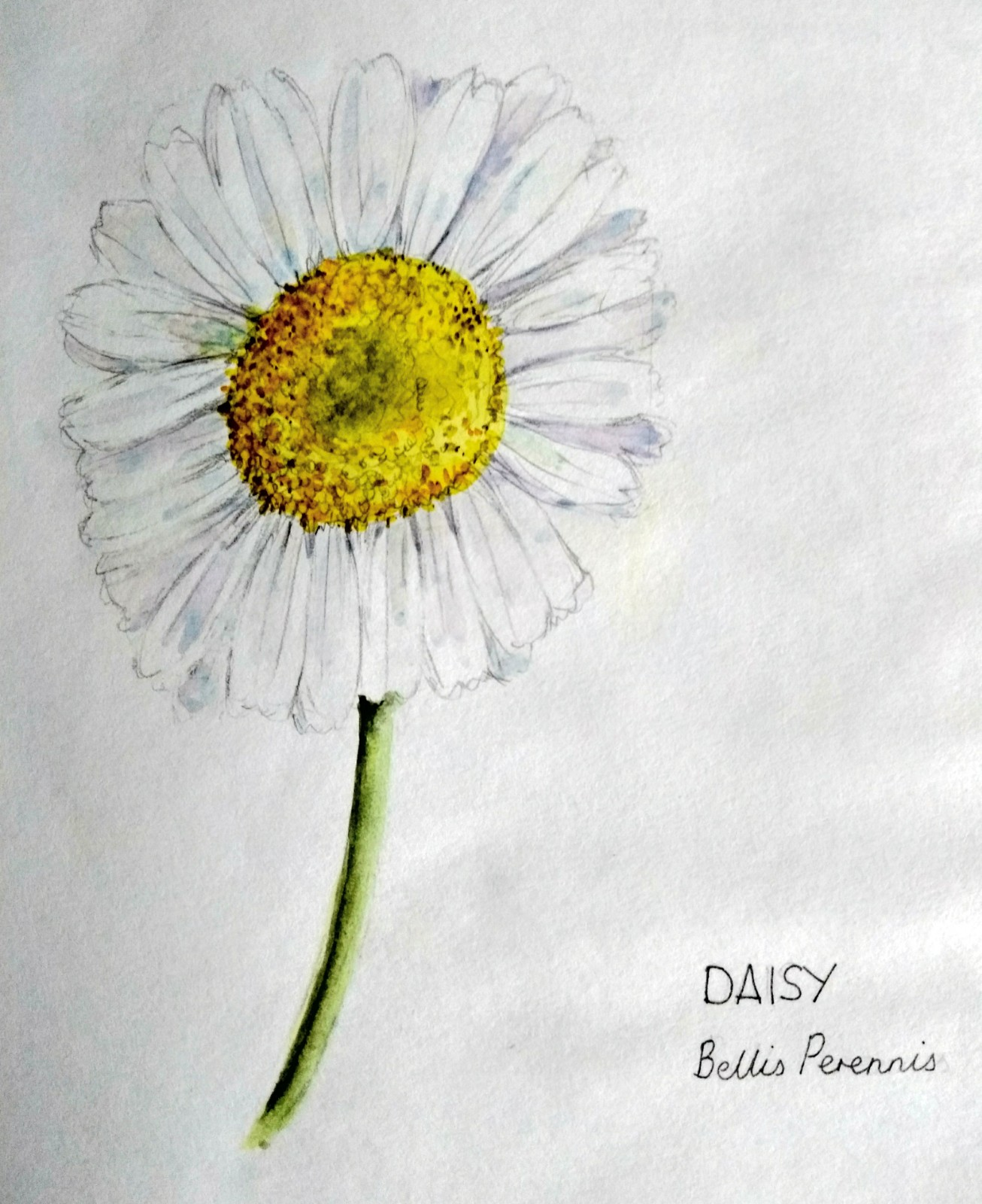 Hello, unique little daisy! How are you today?    May I draw your picture? I notice your petals are very wonky, and your centre floret has a rather nice darker patch......