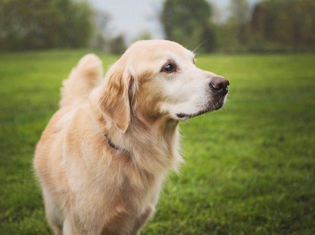 Roxy Therapy Dog Luke