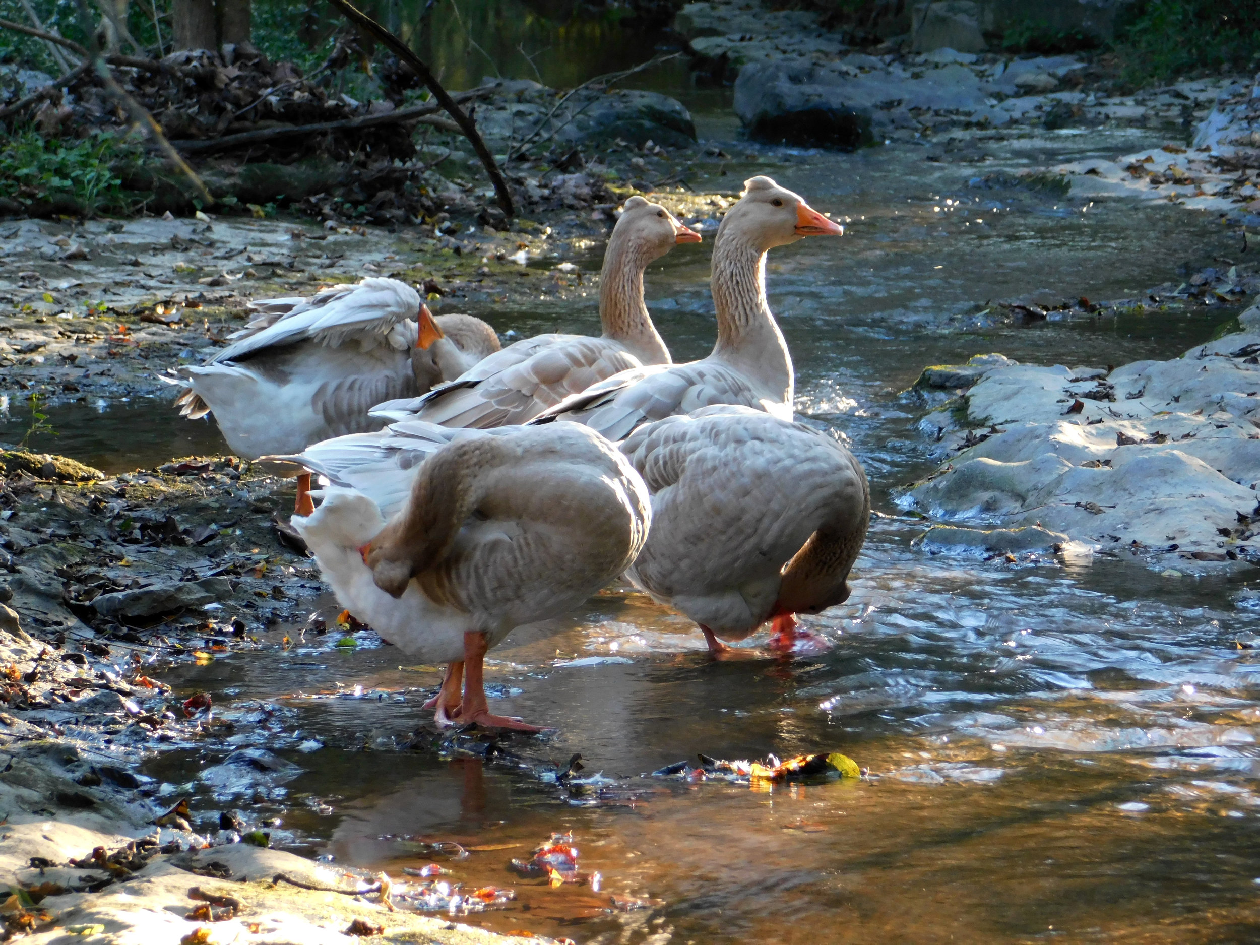 American Tufted Goose