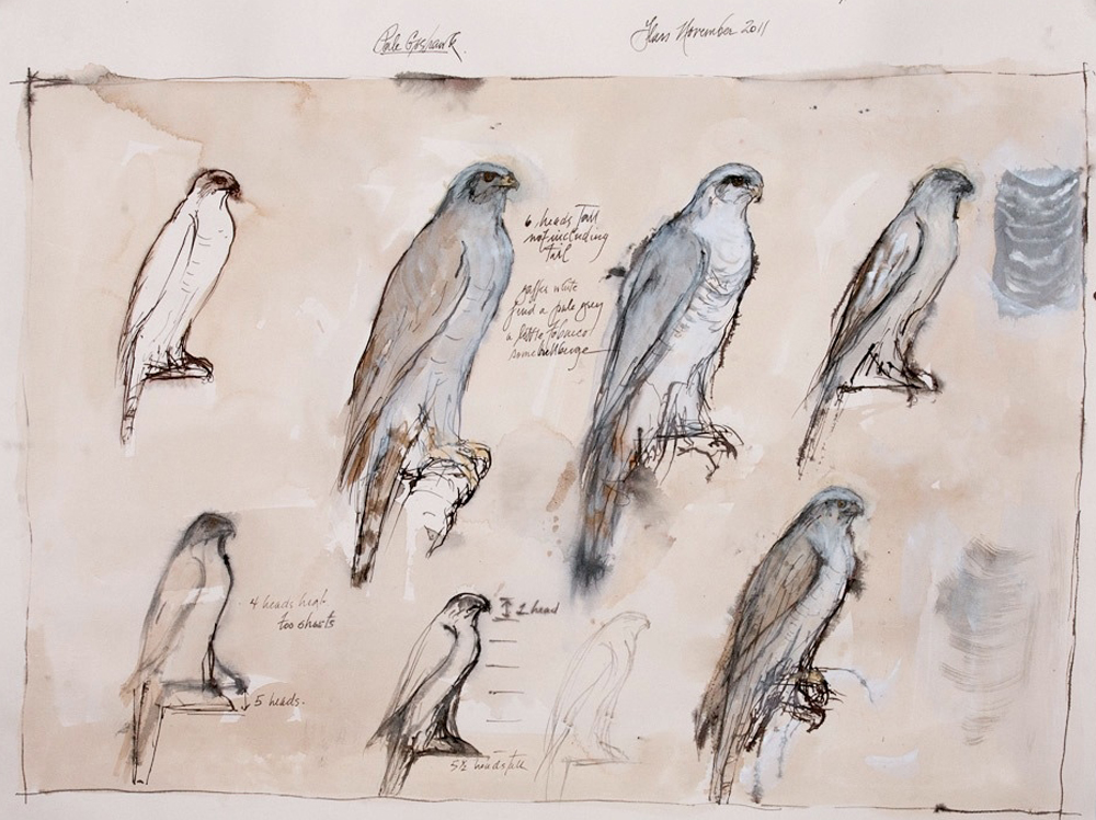 """""""Pale Goshawk Study"""", 2011  Korean watercolor and ink   22 x 30 inches"""