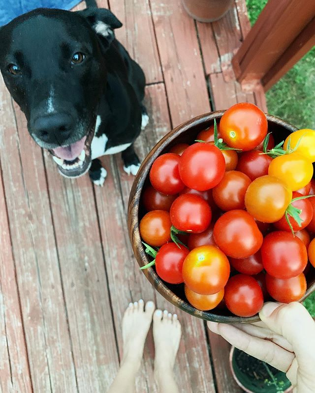 I love summertime backyard fun! . Picking tomatoes and playing with Marlowe in the sun. . We have a surplus of cherry tomatoes this year... get ready to see them A LOT (sorry, not sorry). . Putting together a LIVE call to chat about my online program Radiant & Abundant Kitchen (open now for enrollment!) - what are some questions you want me to answer? . . . . . #radiantandabundantkitchen #radiantandabundantlife #onlinecourse #onlinenutritioncoach #iin #iinalumni #iinhealthcoach #tomatoes #backyardgarden #gardening #growyourownfood #puppy #muttsofinstagram #austinpetsalive