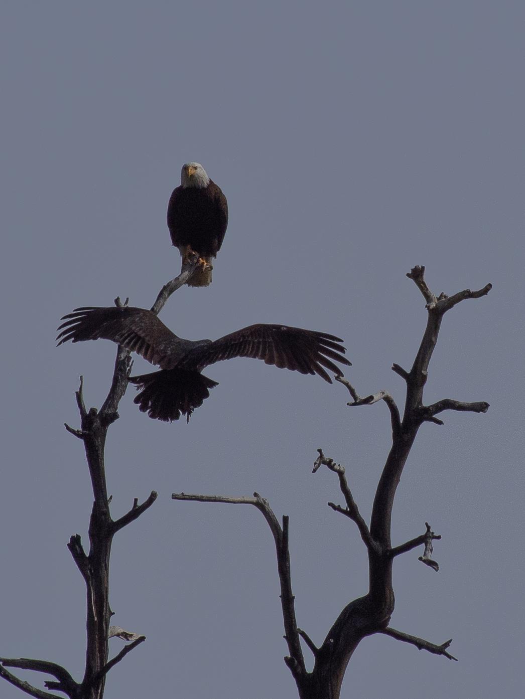 Eagle and Turkey Vulture