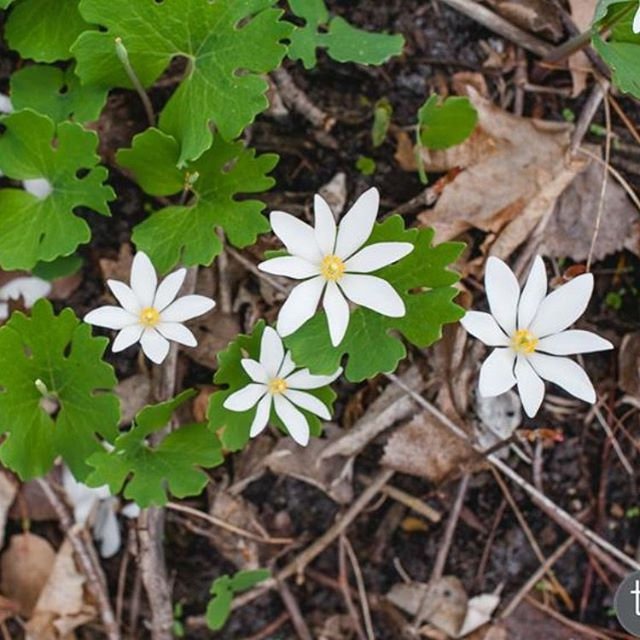 Blood root flower essence will be shared at Wednesday's Metacine yoga class in St Paul at @northernyogacenter!  It is one of the first flowers to come up in spring, assisting us in restoring the bridge of our current selves and ancestral patterning so the brightest parts of ourselves can shine ✨  Link to event in comments.  Must register.