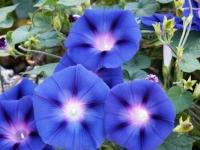 Morning glory flower.  Image credit:  www.formlainc.com .