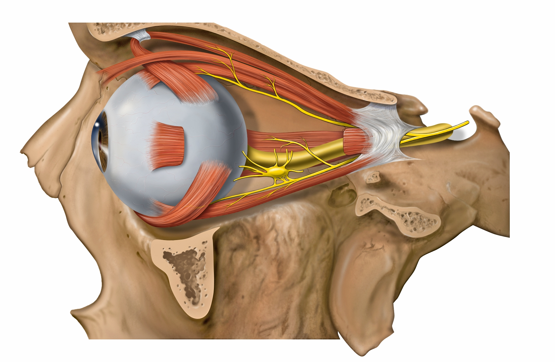 The ciliary ganglion lies temporal to the ophthalmic artery, inbetween the lateral rectus and optic nerve. It is approximately 1.5-2.0 cm (15-20 mm) posterior to the globe and 1.0 cm (10 mm) anterior to the Annulus of Zinn and the superior orbital fissure.  Image credit:  Wikipedia .