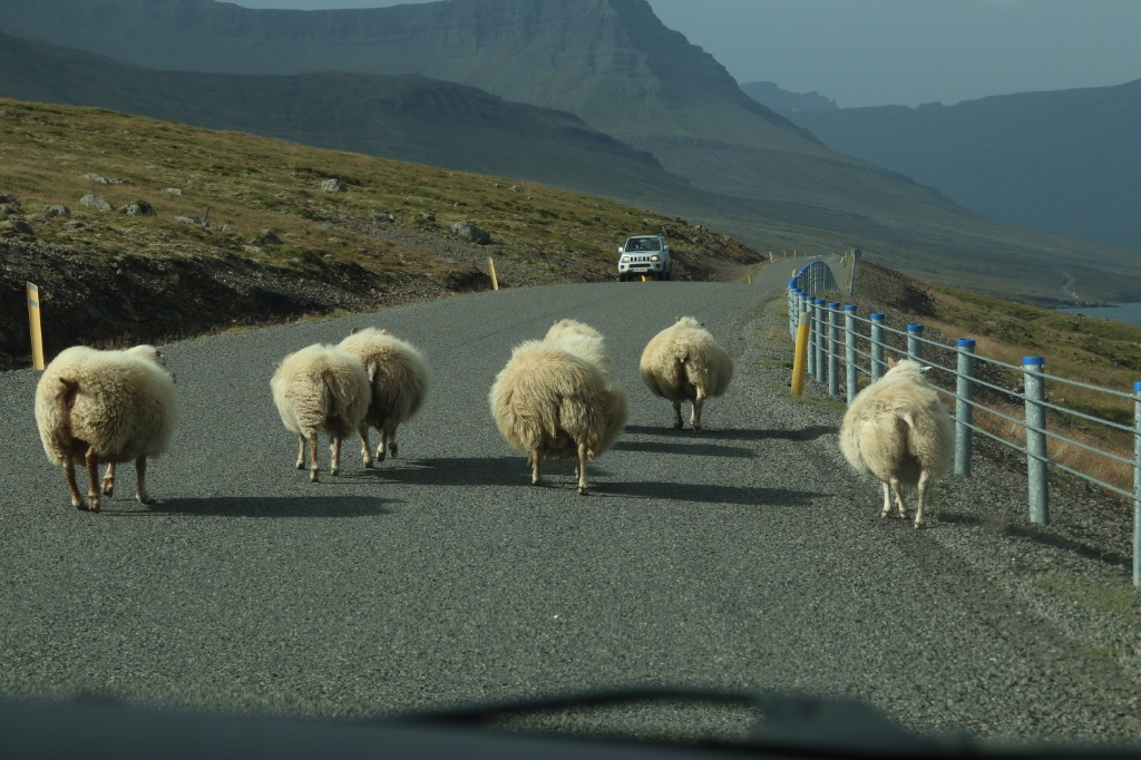 Sheep in Iceland. Photo by Tamara Buckland.