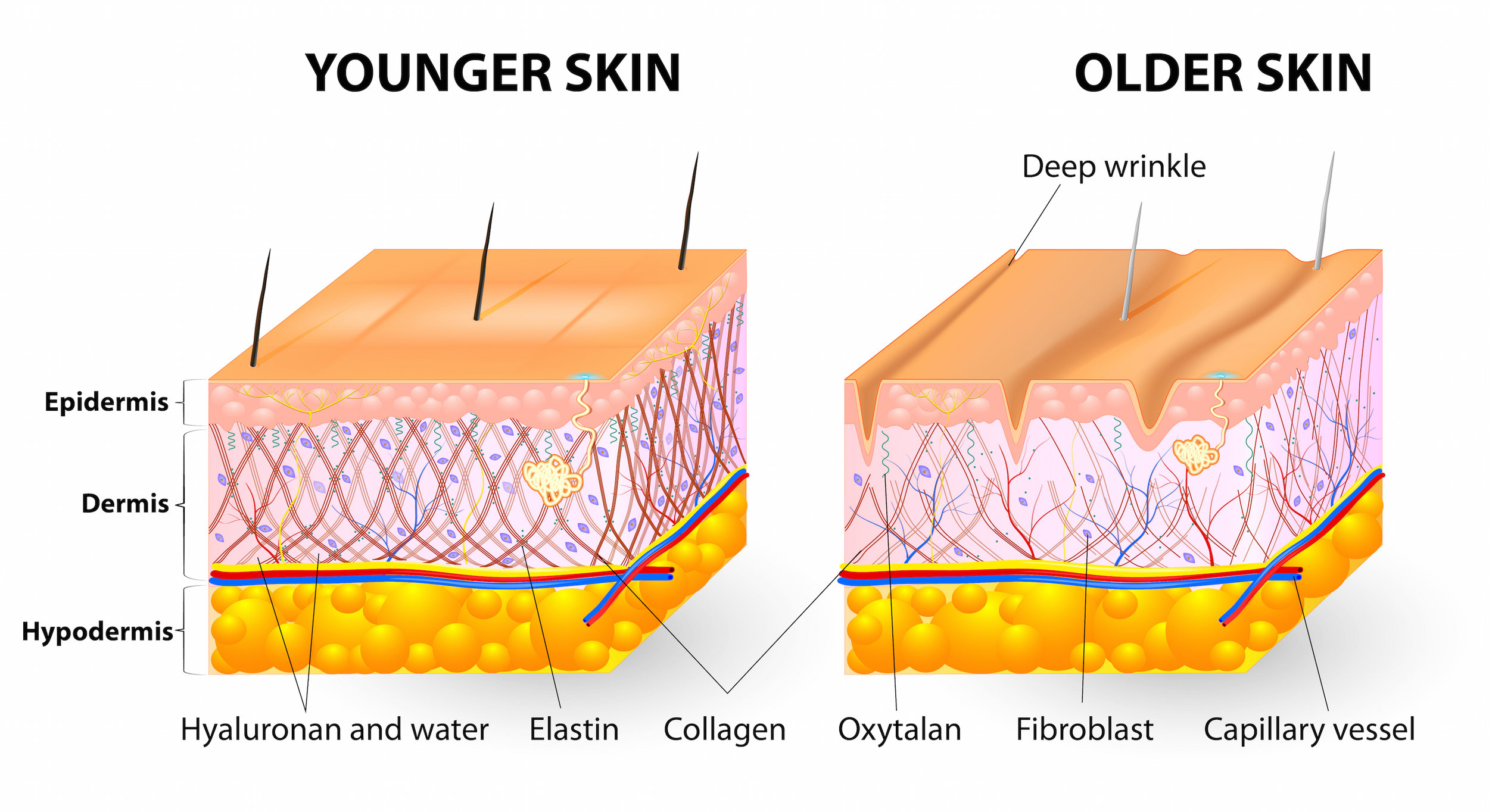 UV rays deeply penetrate our skin, reaching all the way down to the Hypodermis.