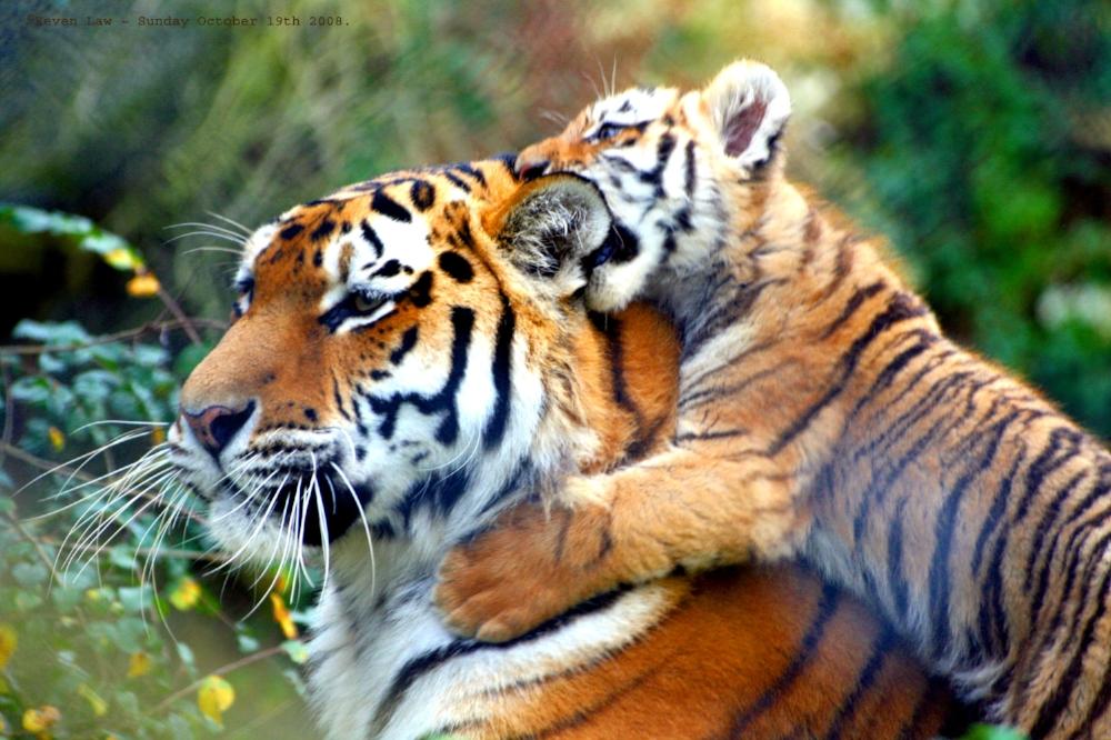 Warning!!!...Tiger_in_training...O)).jpg