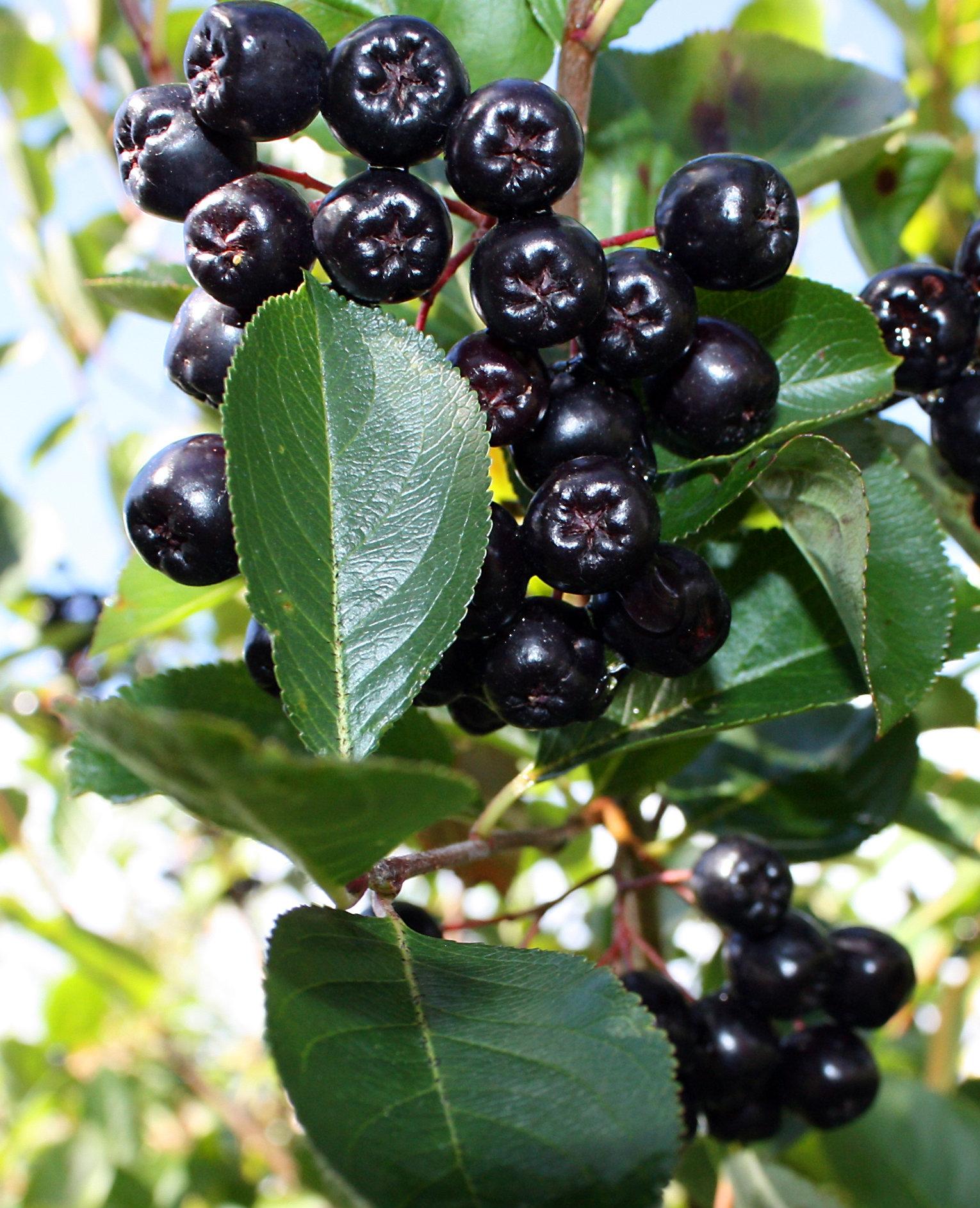 The maqui berry is the new açai!