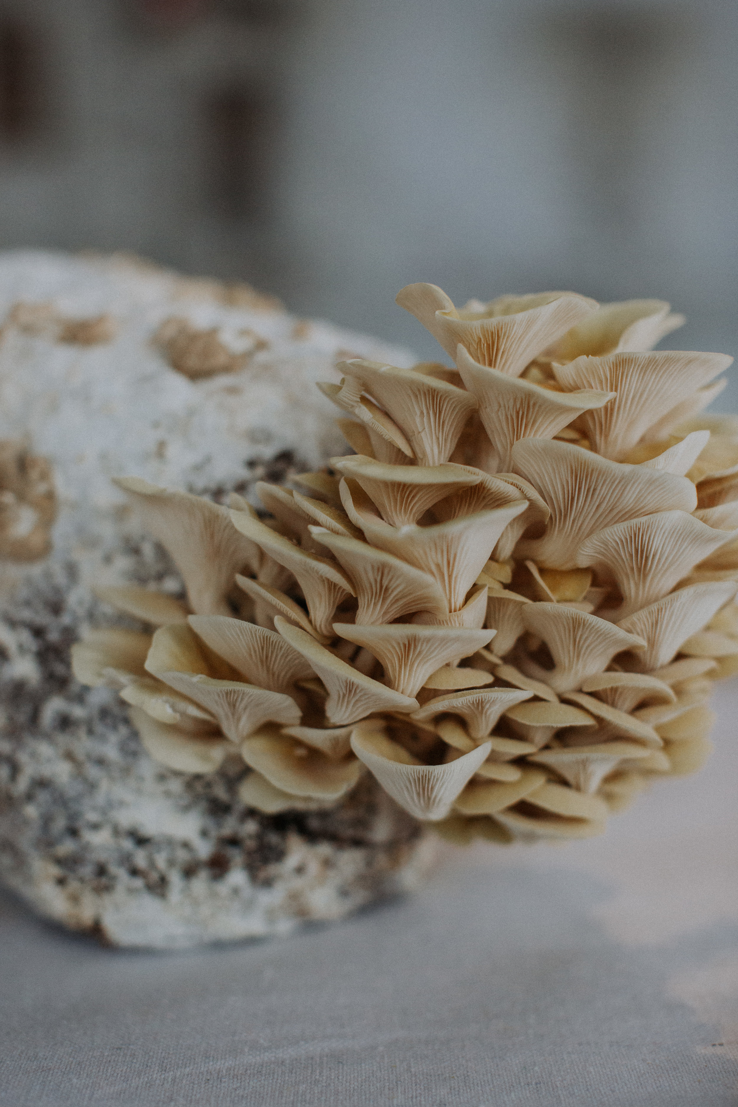 Golden Oyster  - Delicate and light in both flavor and texture.