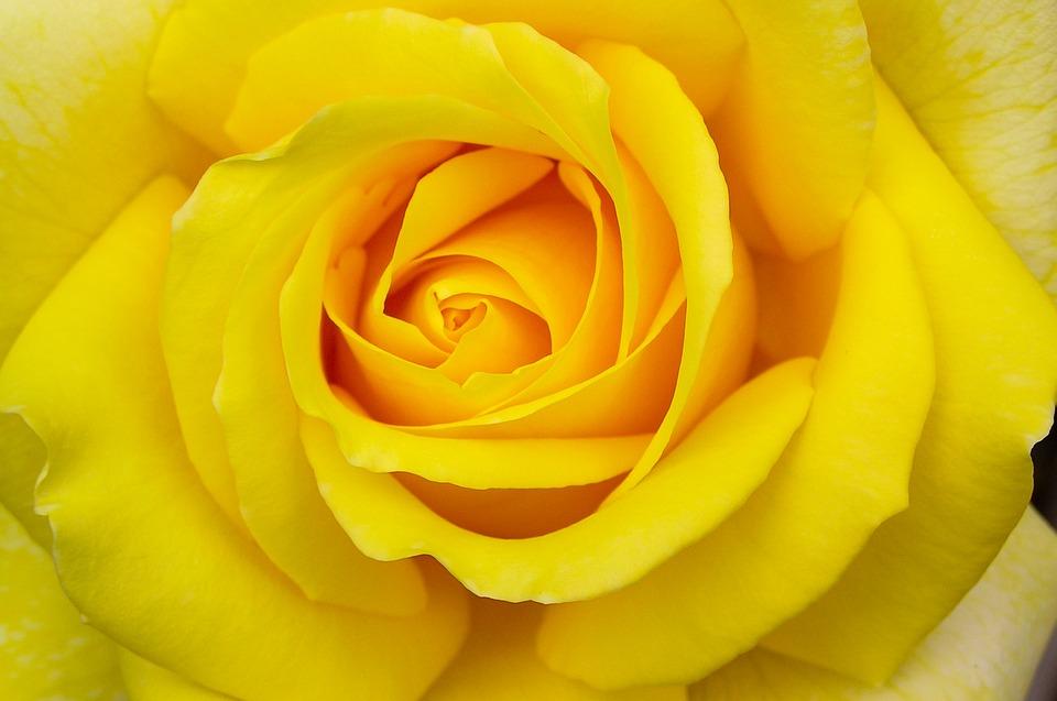 yellow rose pixabay.jpg