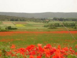 Fields of Poppies in the Springtime