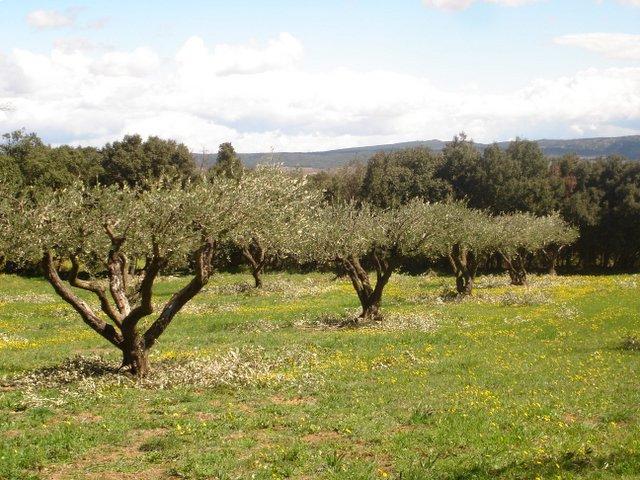 Olive Trees, Uzes, France