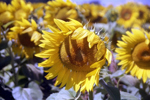 photo sunflower.jpg