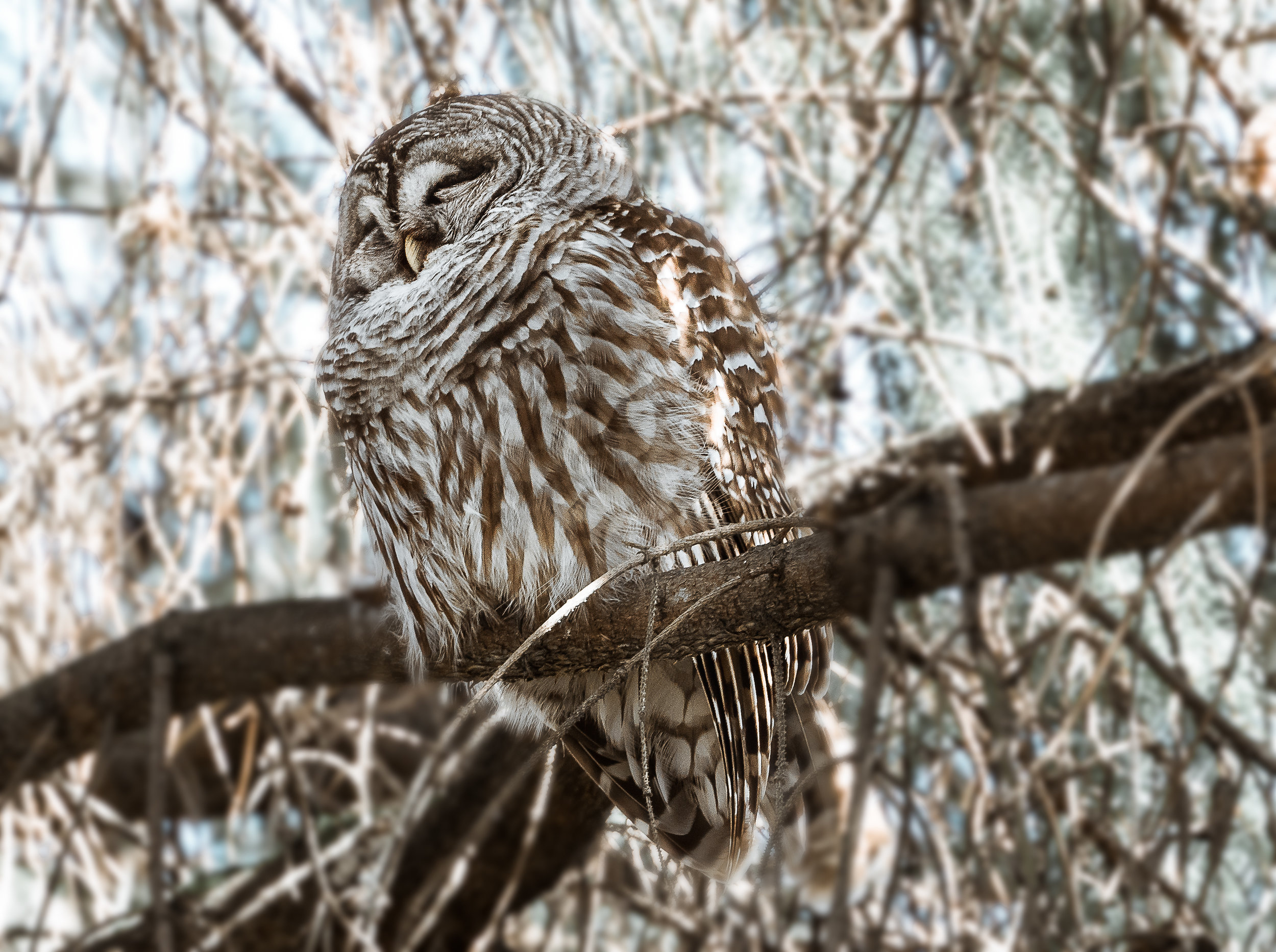Fluffy the Barred Owl
