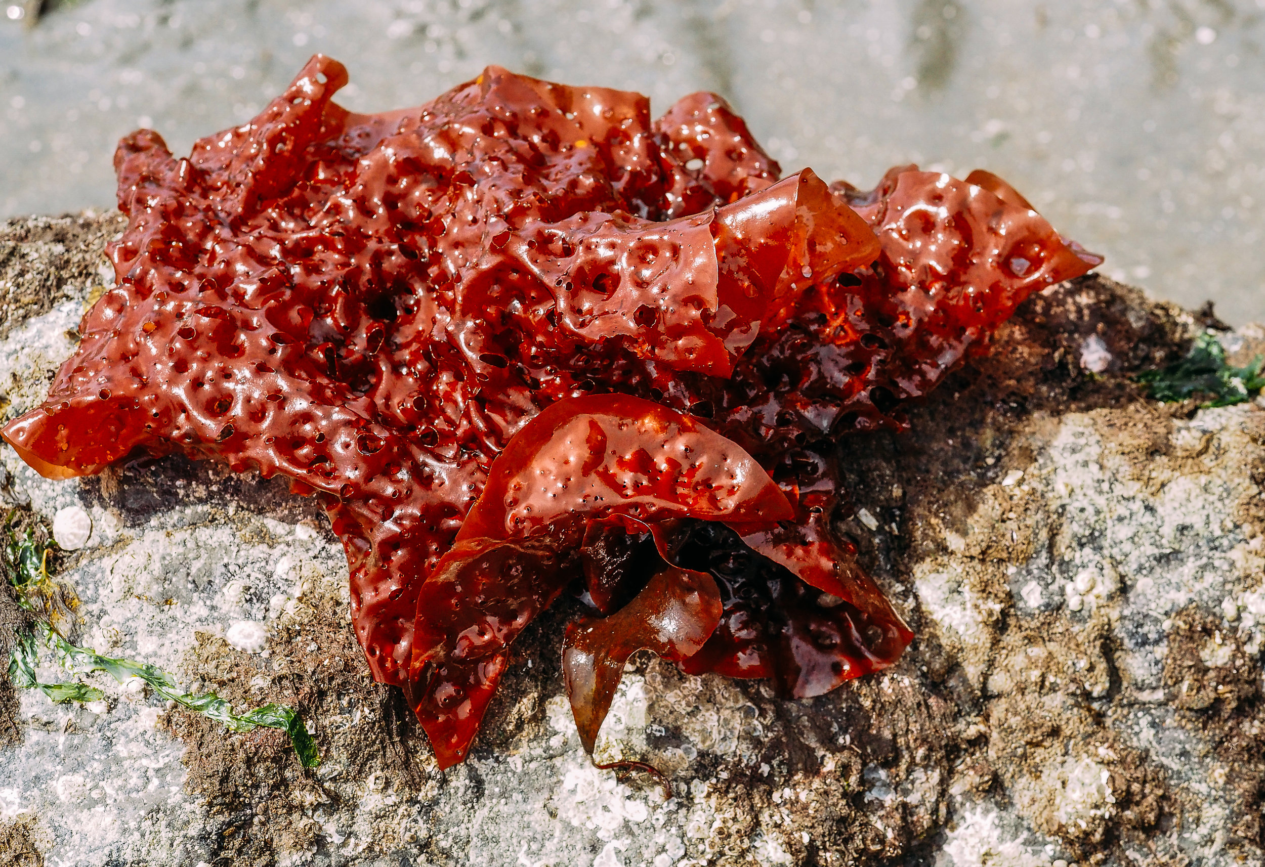 Red eyelet silk seaweed-Constellation Beach
