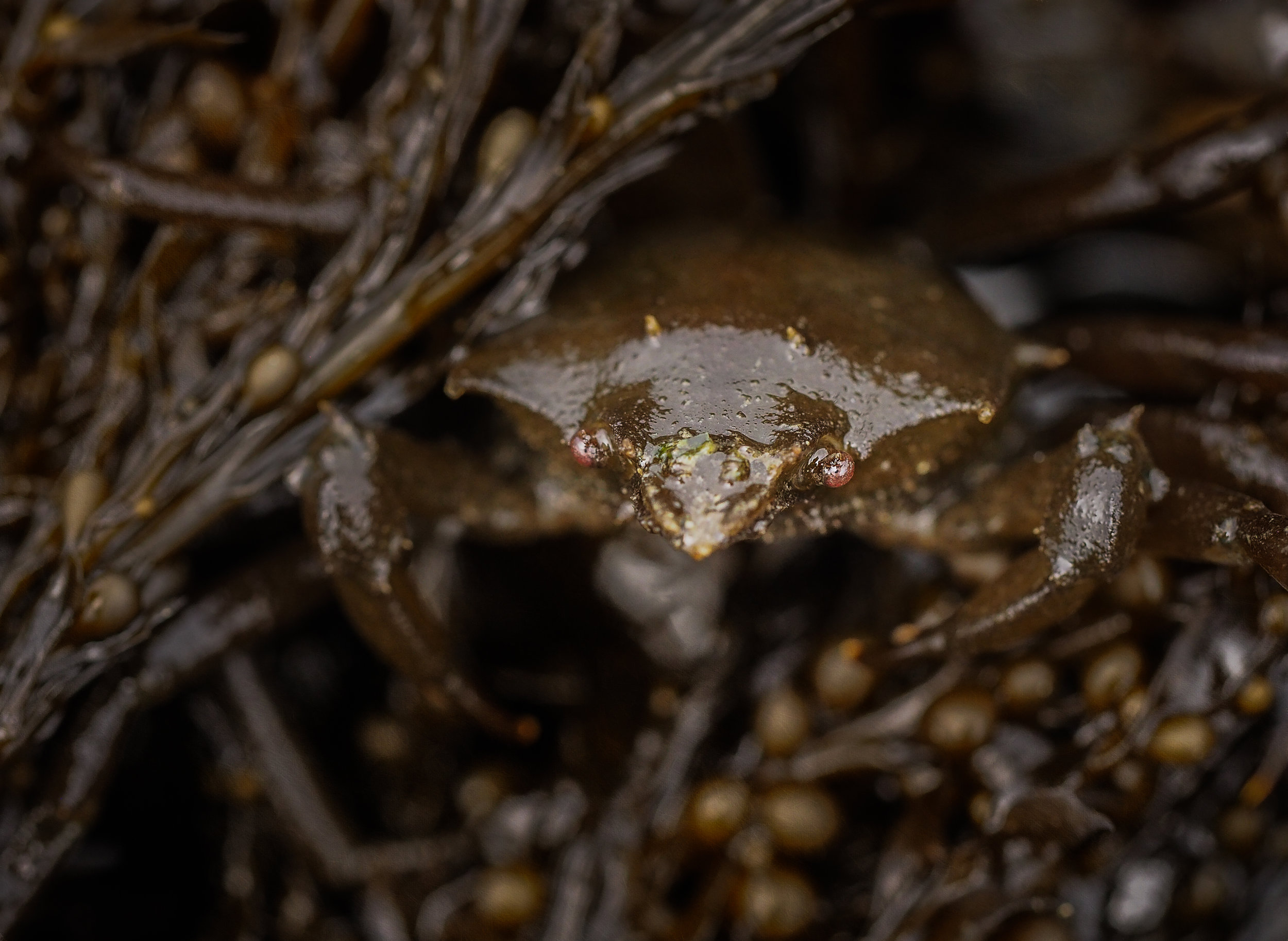 Kelp crab-Constellation Beach
