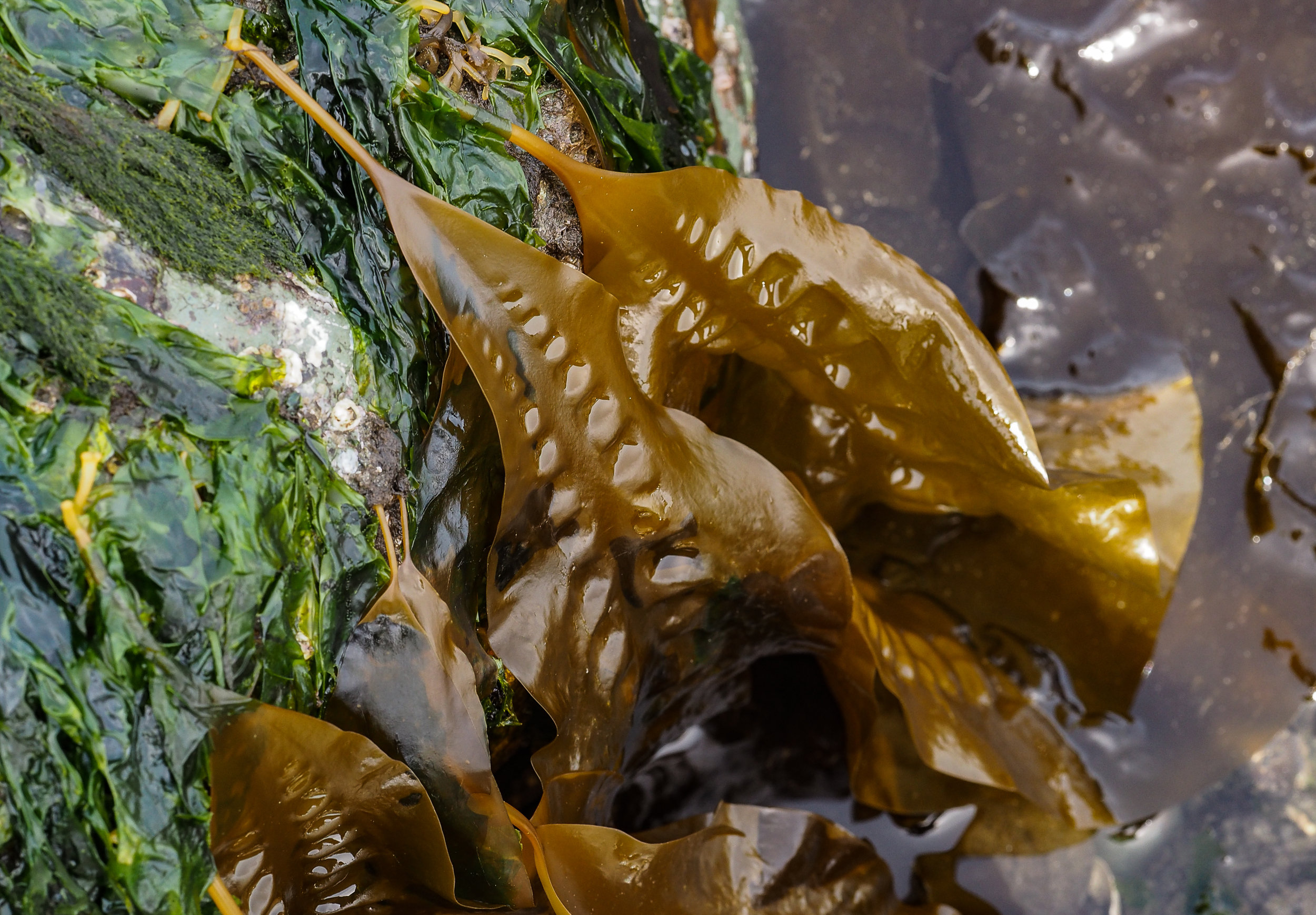 Sugar kelp-Golden Gardens
