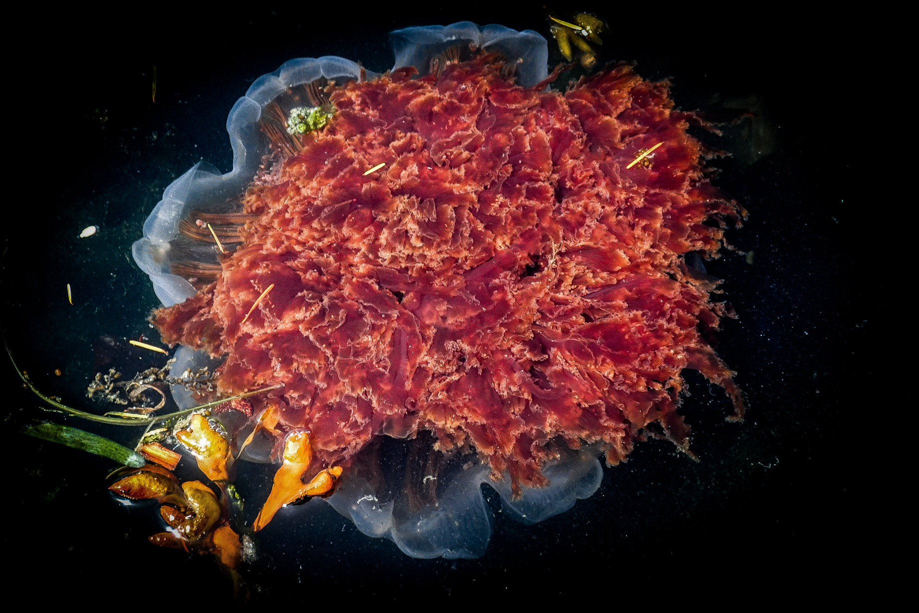 "Lion's Mane Jelly..one of the many ""biggest in the world"" creatures that inhabit the Salish Sea."