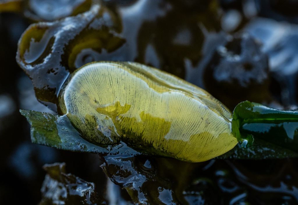Bubble snail eggs, Seattle, WA