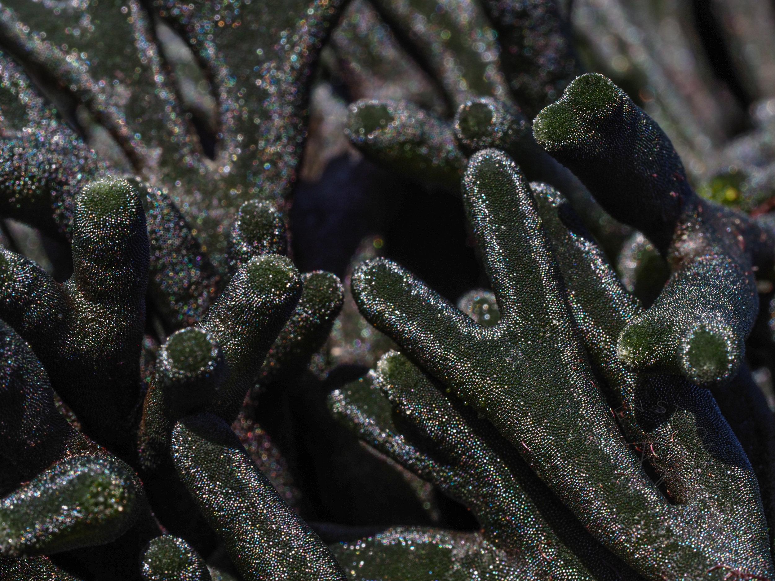Staghorn Seaweed-my favorite seaweed in the universe