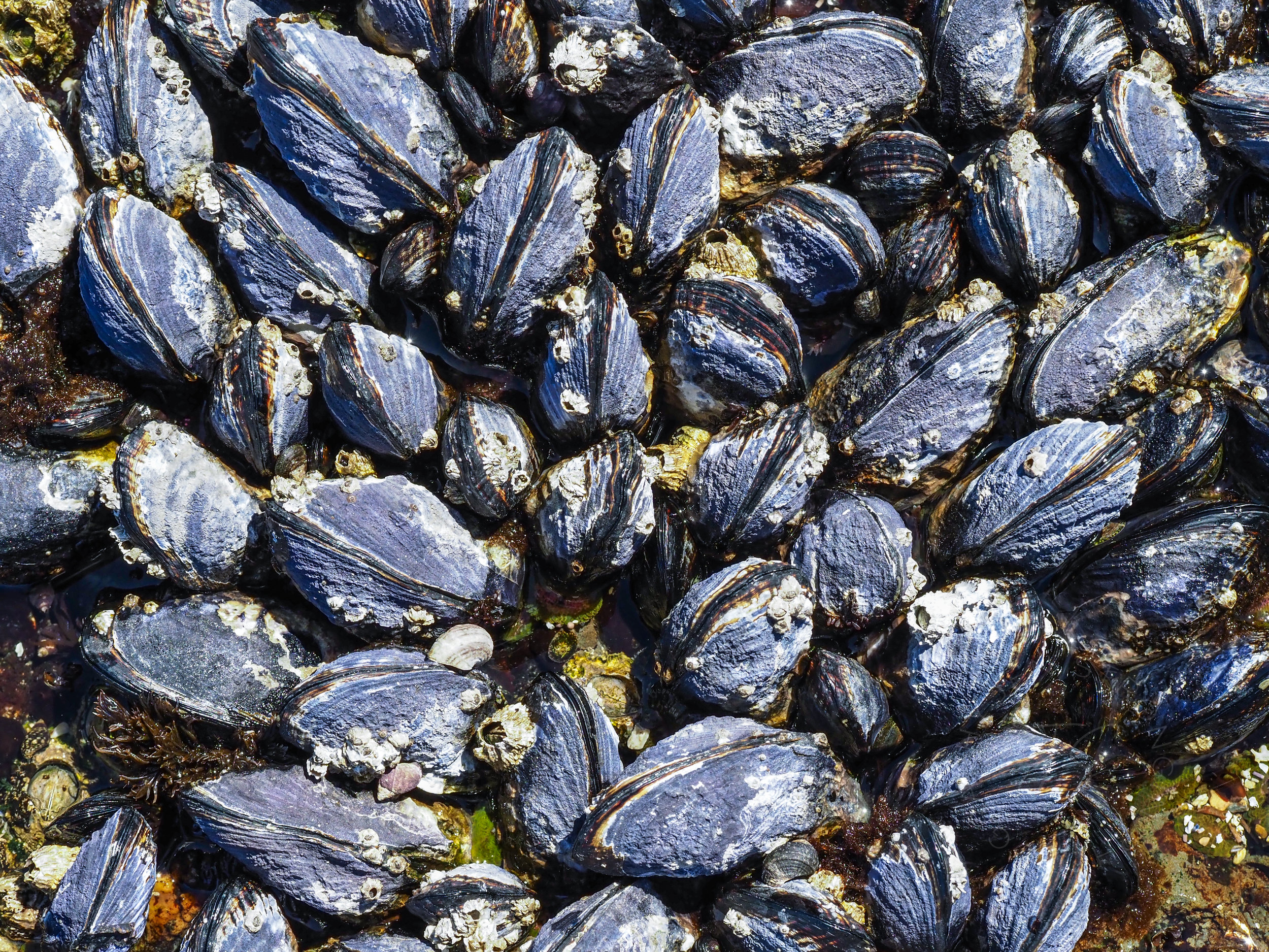It feels like there are miles of California Mussels at Tongue Point Marine Reserve