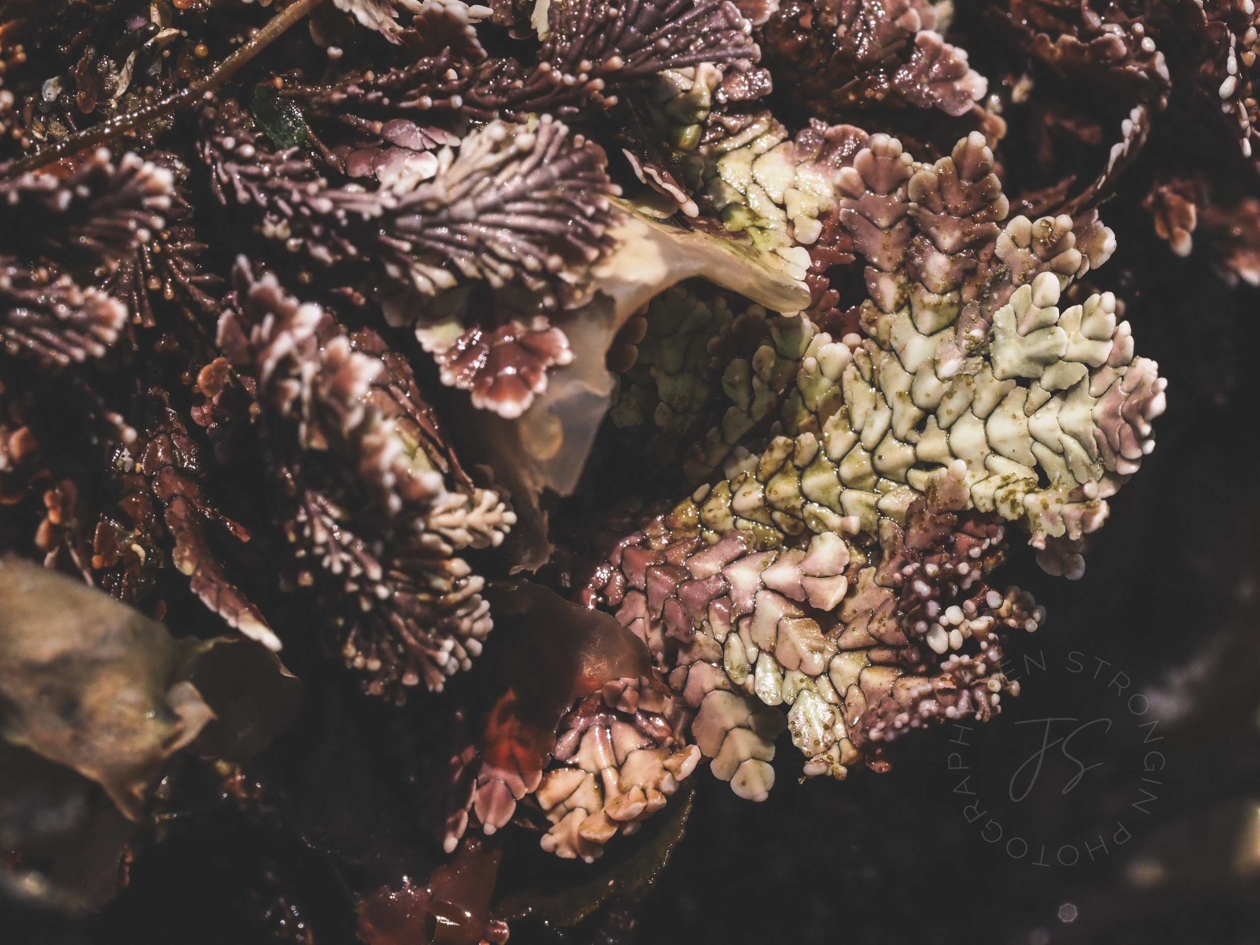 Coraline algae