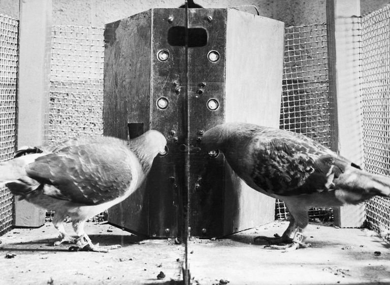 Skinner Pigeon 1.jpg