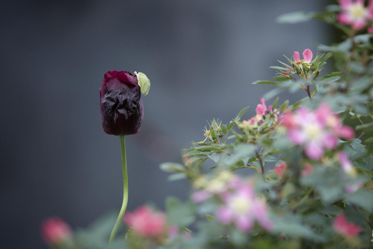 Colm Joseph RHS Chelsea papaver lauren's grape rosa glauca garden design.jpg